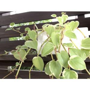 ペペロミア 花、ガーデニング 観葉植物 (44700)|kagoen-nursery