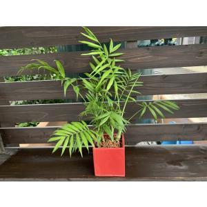 テーブルヤシ Latino 花、ガーデニング 観葉植物 (44700)|kagoen-nursery