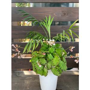 テーブルヤシ&Begonia の寄せ植え 花、ガーデニング 観葉植物 (44700)|kagoen-nursery