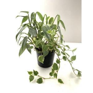 フィロデンドロン&ペペロミアの寄せ植え 花、ガーデニング 観葉植物 (44700)|kagoen-nursery