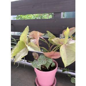 シンゴニュームネオン&ベゴニアの寄せ植え 花、ガーデニング 観葉植物 (44700)|kagoen-nursery