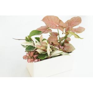 ピンク色の観葉植物の寄せ植え 花、ガーデニング 観葉植物 (44700)|kagoen-nursery