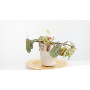 マランタ レウコネウラ ファッシネーター M. leuconeura var.fascinator 花、ガーデニング 観葉植物 (44700) kagoen-nursery