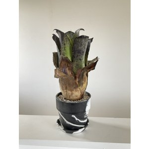 (現品)ホヘンベルギア レオポルドホルステイ ブラックフォーム Hohenbergia leopoldpo-horstii Black form|kagoen-nursery