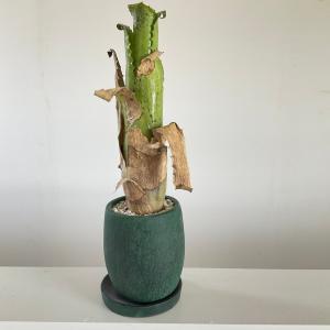 (現品)ホヘンベルギア マグニスピナ ex  ハーマン プリンスター  Hohenbergia magnispina ex Herman Prinster|kagoen-nursery