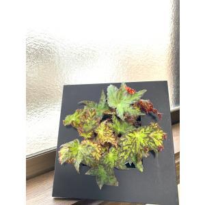 (現品)根茎性Begonia ステンドグラス 額縁入り 花、ガーデニング 観葉植物 (44700)|kagoen-nursery
