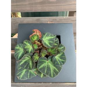 根茎性Begonia ブラジルSP 花、ガーデニング 観葉植物 (44700)|kagoen-nursery