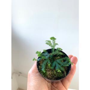 セラギネラ Selaginella|kagoen-nursery