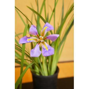 寒咲き菖蒲  Iris unguicularis 花、ガーデニング 球根、種芋 花 (44711)|kagoen-nursery