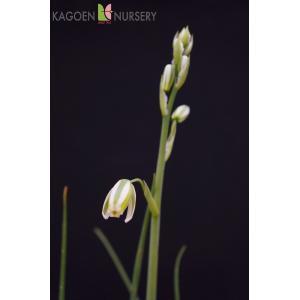 アルブカ ナマクエンシス Albuca namaquensis 花、ガーデニング 球根、種芋 花 (44711)|kagoen-nursery