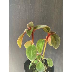 ペアルセア アバンダ Pearcea abunda 『Red kitty』花、ガーデニング 観葉植物 (44700)|kagoen-nursery