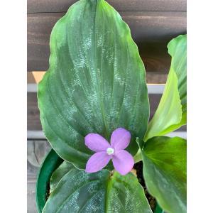 ケンフェリア プルクラ Kaempferia pulchra 花、ガーデニング 観葉植物 (44700)|kagoen-nursery