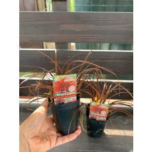 ウンシニア エヴァーフレーム 2株セット Uncinia  Ruben Everflame 花、ガーデニング 苗 花(44713)|kagoen-nursery