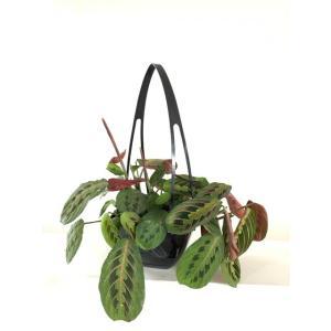 マランタ レウコネウラ ファッシネーター 花、ガーデニング 観葉植物 (44700)|kagoen-nursery