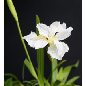 純白シャガ '寿白鳥'Iris Japonica 花、ガーデニング 球根、種芋 花 (44711)|kagoen-nursery