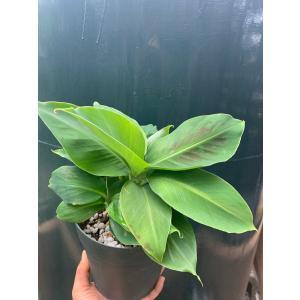 ドワーフ モンキーバナナ 5号 Dwarf Monkey Banna 花、ガーデニング 観葉植物 (44700)|kagoen-nursery