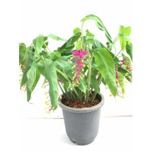 グロッバ ウィンテイ シャムの舞姫 Globba  花、ガーデニング 苗 花(44713)|kagoen-nursery