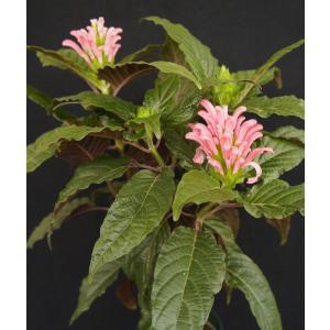 フラミンゴプランツ ピンク Justicia carnea|kagoen-nursery