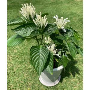 フラミンゴプランツ usticia carnea  fma alba|kagoen-nursery