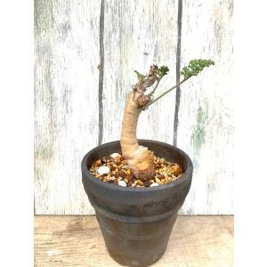 (現品)ぺラルゴニウムカルノッサム  Pelargonium carnosum|kagoen-nursery