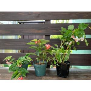 Tiny Cozy ベゴニア 3株セット kagoen-nursery