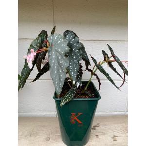 (現品)木立性ベゴニア シャロン・シラートB.Sharon Sheelert花、ガーデニング 観葉植物 (44700)|kagoen-nursery
