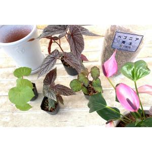 夏の寄せ植えキット 〜Begonia rose Champagne〜|kagoen-nursery