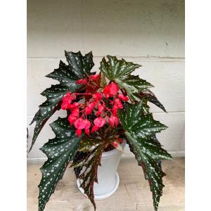 観葉ベゴニア アリスN花、ガーデニング 観葉植物 (44700)|kagoen-nursery