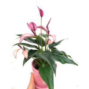 アンスリウム アンドレアナム ジゾー Anthurium 花、ガーデニング 観葉植物 (44700)|kagoen-nursery