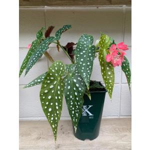 シャンデリア 水玉ベゴニア 木立性ベゴニア流れ星 6寸size   花、ガーデニング 観葉植物 (44700)|kagoen-nursery