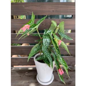 (現品)木立性ベゴニア マイスぺシャルエンジェル B.My special Angel  花、ガーデニング 観葉植物 (44700)|kagoen-nursery