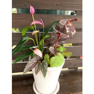 (現品)begonia のRose Champagne寄せ植え   花、ガーデニング 観葉植物 (44700) kagoen-nursery