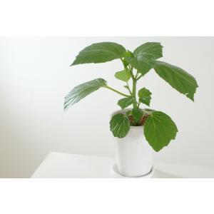 観葉ベゴニア 青柳 花、ガーデニング 観葉植物 (44700)|kagoen-nursery