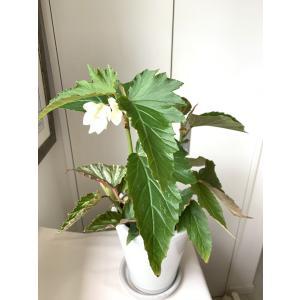 観葉ベゴニア ラニ 花、ガーデニング 観葉植物 (44700)|kagoen-nursery