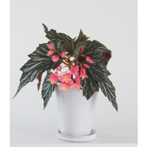 観葉ベゴニア ラナ花、ガーデニング 観葉植物 (44700)|kagoen-nursery