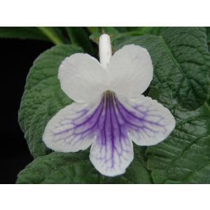 グウェンGwen花、ガーデニング その他花、ガーデニング (4101)|kagoen-nursery
