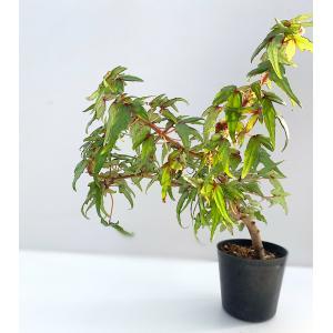 球根性ベゴニア 原種 ドレゲイ・グレースルブラ B.dregei gracerubra|kagoen-nursery