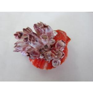 ヒオウギガイ(フジツボ付き) 約10±0.5cm/1個 貝殻・貝・シェル・二枚貝