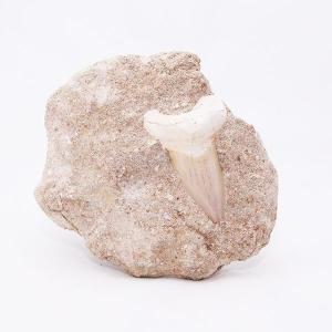サメの歯化石 母岩付(オトドゥス)No.1 kaiyokobo