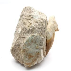 サメの歯化石 母岩付(オトドゥス)No.21 kaiyokobo