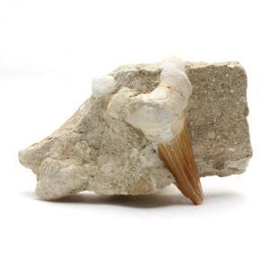 サメの歯化石 母岩付(オトドゥス)No.30 kaiyokobo