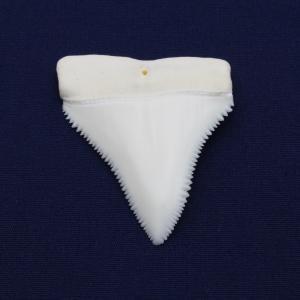 ホホジロザメの歯(Great white shark)サメの歯 標本No.2|kaiyokobo