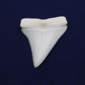 ホホジロザメの歯(Great white shark)サメの歯 標本No4|kaiyokobo