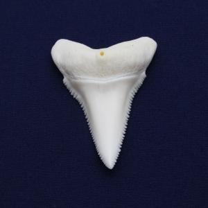 ホホジロザメの歯(Great white shark)サメの歯 標本(下顎の歯)No7|kaiyokobo
