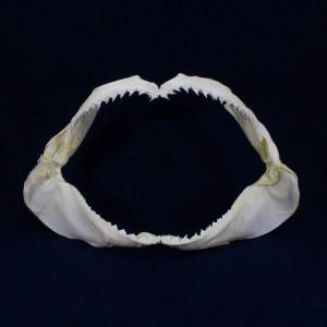 サメの顎(ニタリ)顎骨標本 ペラジック・スレッシャー・シャーク Pelagic thresher shark No.5 kaiyokobo