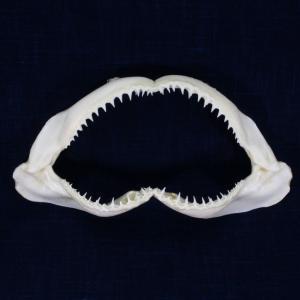 サメの顎(カマストガリザメ)顎骨標本 ブラックチップシャーク Blacktip Shark No.3 kaiyokobo
