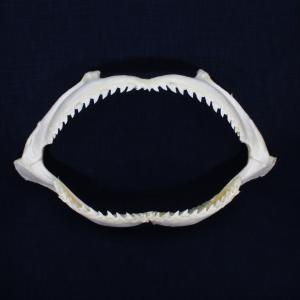 サメの顎(シロシュモクザメ)顎骨標本 スムース・ハンマーヘッド・シャーク Smooth Hammerhead Shark No.11 kaiyokobo