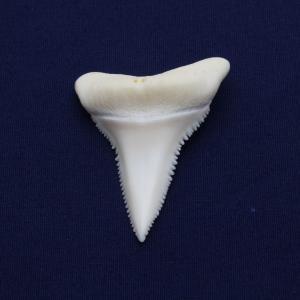 ホホジロザメの歯(Great white shark)サメの歯 標本No9|kaiyokobo
