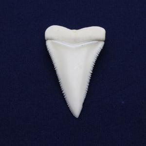 ホホジロザメの歯(Great white shark)サメの歯 標本No10|kaiyokobo