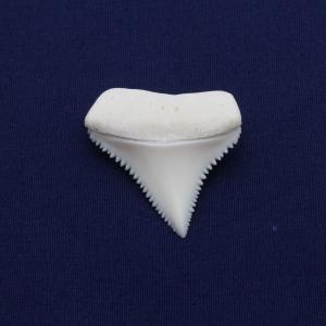 ホホジロザメの歯(Great white shark)サメの歯 標本No12|kaiyokobo